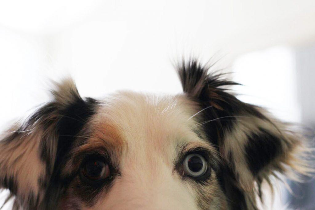Merle - Zauberhund der BrokkoliBastards